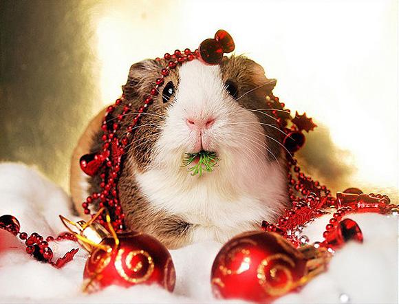 Guinea-Pig-in-lights